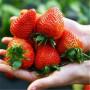 山東德州法蘭地草莓苗種植經驗分享高產