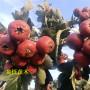 大棉球山楂廣西百色種植經驗分享高成活率