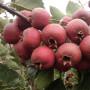 甜紅籽山楂廣西北海選購指南及注意事項高產