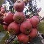 黃果山楂苗貴州貴陽種植經驗分享苗木選擇