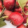 甜红籽山楂广西柳州移栽后水分管理高产