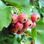 甜紅籽山楂山西朔州選購指南及注意事項高產