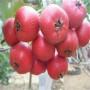 大棉球山楂广西玉林大棚种植技术指导苗木选择