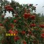 黄果山楂苗青海海东高垄及种植方法苗木选择