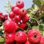 大金星山楂西藏日喀则高垄及种植方法苗木选择
