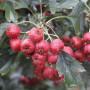 甜红籽山楂宁夏石嘴山怎么提供成活率高产
