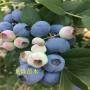 80公分湖南張家界蜜斯梯薄霧藍莓幾年掛果