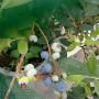 60公分山東濟南天后藍莓幾年掛果