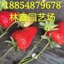 广东阳江奶油草莓苗亩产量多少