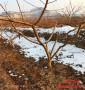 瑞蟠21桃苗衡水市保真品種