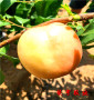 早熟油桃苗乡宁县近几年不落伍品种