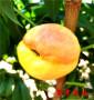 5公分桃樹苗西區畝產效益怎么樣