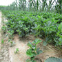 新聞: 日本品種草莓苗日本品種草莓苗報價多少錢