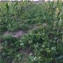 新闻:脱毒草莓苗草莓小苗湖北草莓小苗哪里有卖的
