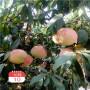 ;河南當年結果中蟠17桃樹苗報價是多少