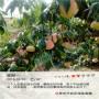 西藏突围桃树苗价格及报价