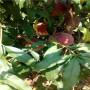 ;湖南嫁接一米高锦春黄桃桃树苗价格是多少