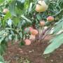 湖北血桃桃树苗哪里便宜