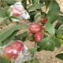湖北定植兩年的黃金蜜4號桃樹苗品種特點介绍