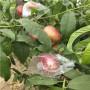 新闻;山东甜桃王桃树苗怎么种植管理