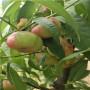 ;陜西定植兩年的春蜜桃樹苗每天新報價