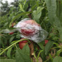 新闻;极早蜜桃树苗山东哪里有卖的