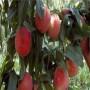 江西紅肉桃桃樹苗報價是多少