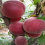 冬雪红蜜桃树苗、湖南冬雪红蜜桃树苗哪里便宜