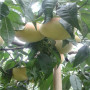陝西两年的黄桃桃树苗批发价格
