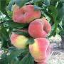 安徽新世纪黄桃桃树苗出售价格