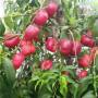 水蜜桃桃树苗、湖南水蜜桃桃树苗怎么卖的