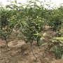 新闻;四川两年生爱宕梨树苗怎么卖的