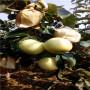 四川五公分當年結果紅梨苗一棵多少錢