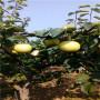 陕西地径一公分梨树实生苗批发价格