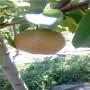 杜梨苗 直径两公分杜梨苗品种特点介绍