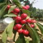 四川定植兩年的先鋒櫻桃苗怎么賣的