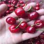 云南吉塞拉6號矮化福星櫻桃苗一株多少錢