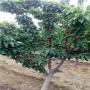 江西定植兩年的水晶櫻桃苗價格是多少