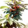 紅瑪瑙櫻桃苗  地徑一公分紅瑪瑙櫻桃苗價格是多少
