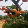 江西定植两年的黑珍珠樱桃苗批发多少钱