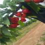 河南矮化三公分吉塞拉樱桃苗价格是多少