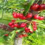 江西五公分当年结果佳红樱桃苗报价是多少