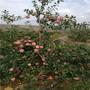 云南m26矮化明月蘋果苗哪里有賣的