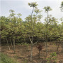 重慶三公分中林核桃苗價格