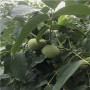 江蘇秋甜桃樹苗多少錢一棵