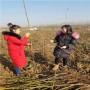 贵州定植两年的春燕桃树苗怎么卖的