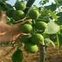 江蘇当年结果83黄桃树苗批发价格