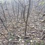 重庆两年的中林核桃苗一棵多少钱