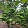 ;江西嫁接一米高黃金蜜4號桃樹苗哪里有賣的