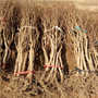 重慶地徑一公分無籽石榴苗一株多少錢